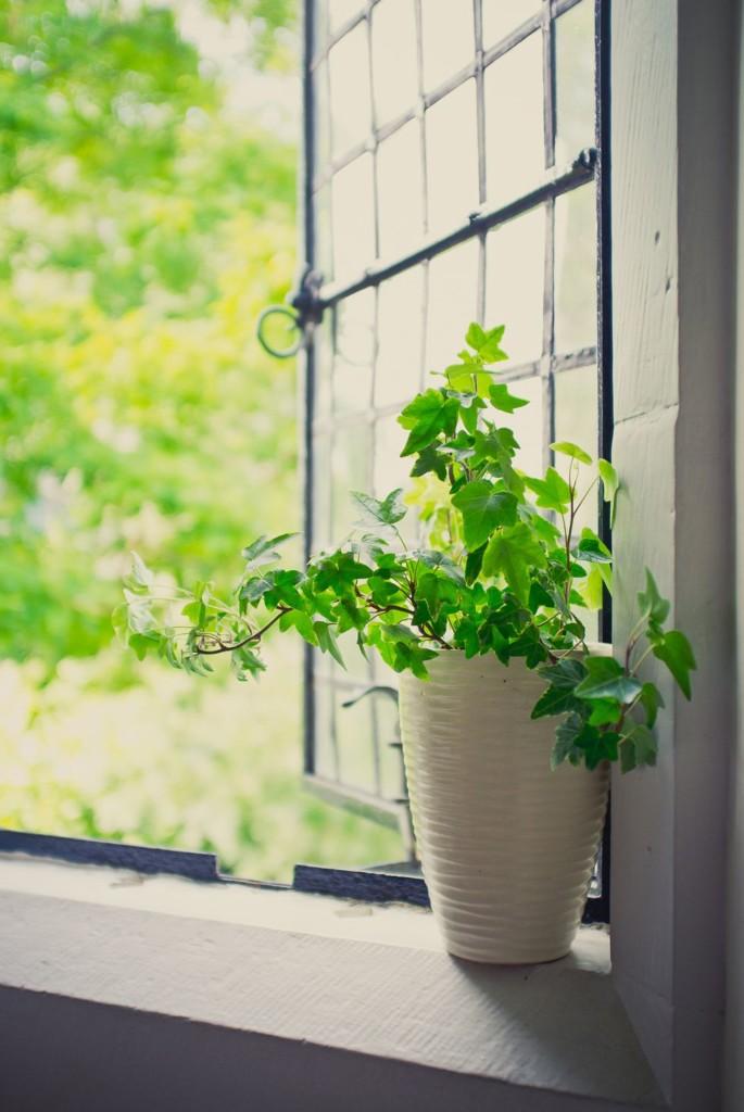 گیاه پاپیتال یا عشقه