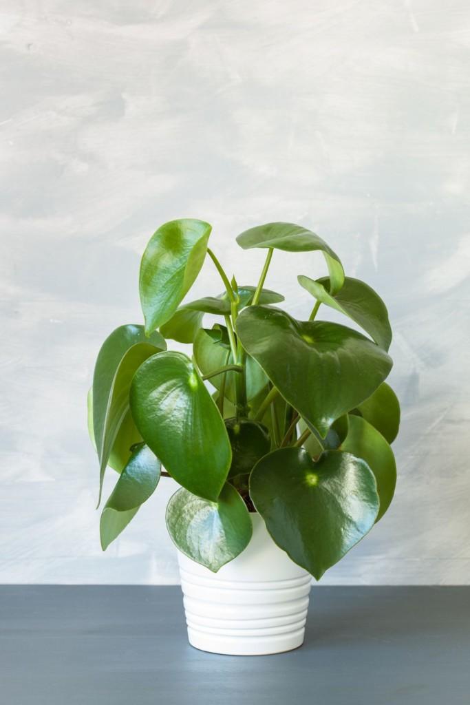 گیاه پپرومیا