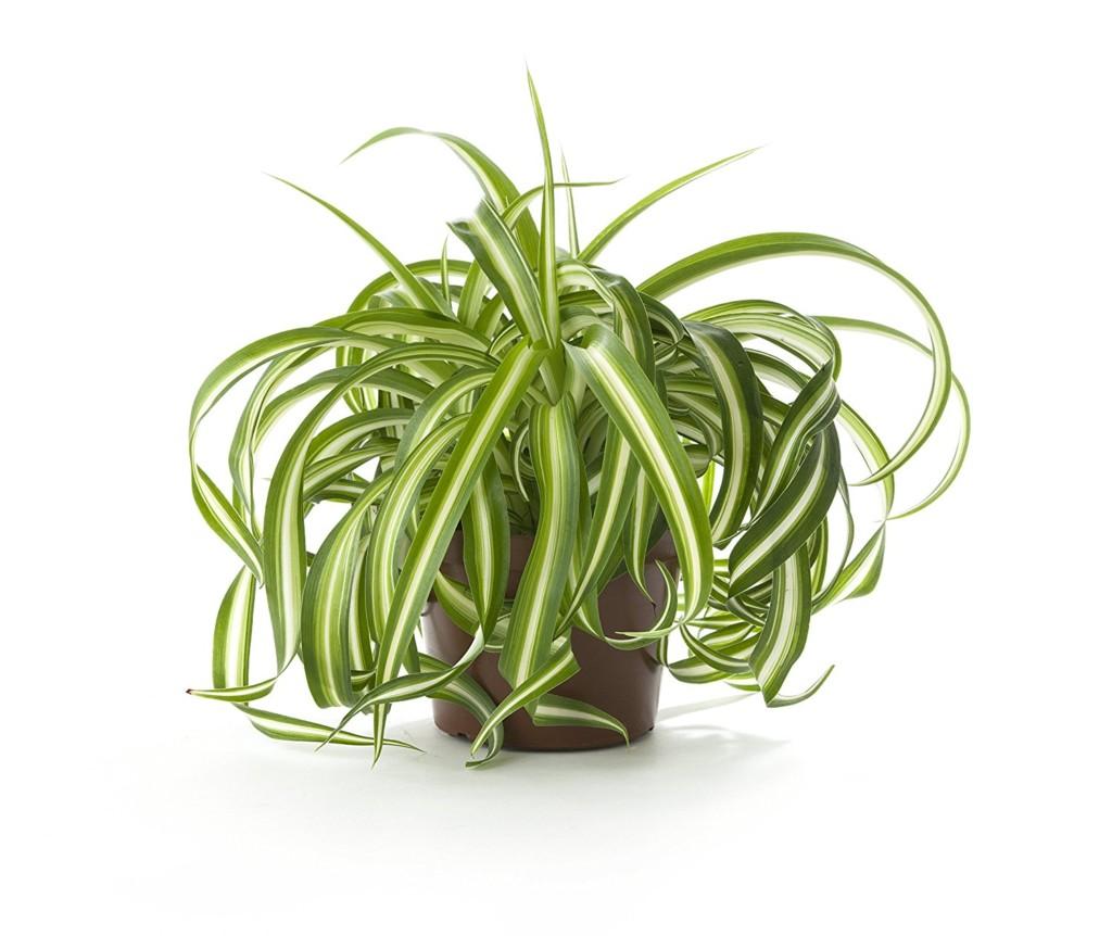 گیاه گل گندمی
